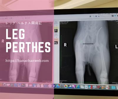 レッグ・ペルテス手術1(発覚から入院まで)